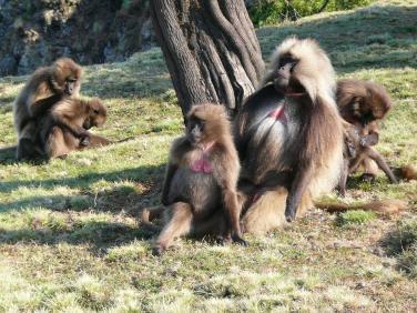 Babouins Gelada