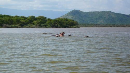 Lac Chamo : hippos