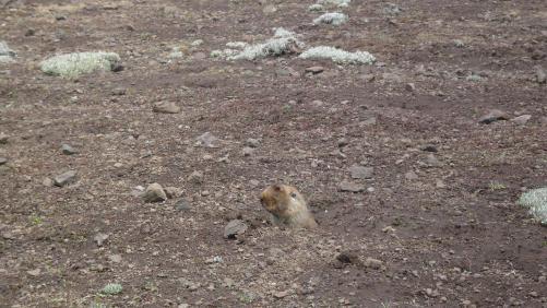 Rat taupe du Balé